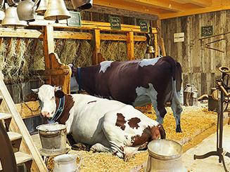 étable reconstituée avec une vache de race montbéliarde couchée et une autre debout